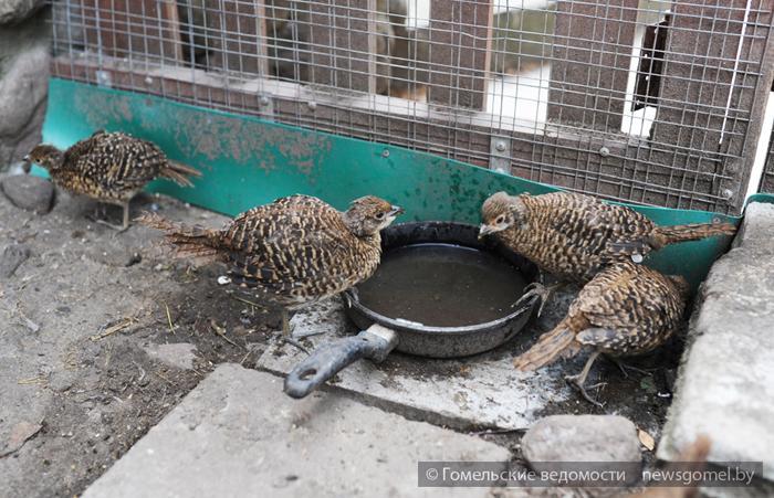 Вольеры для фазанов фото 158